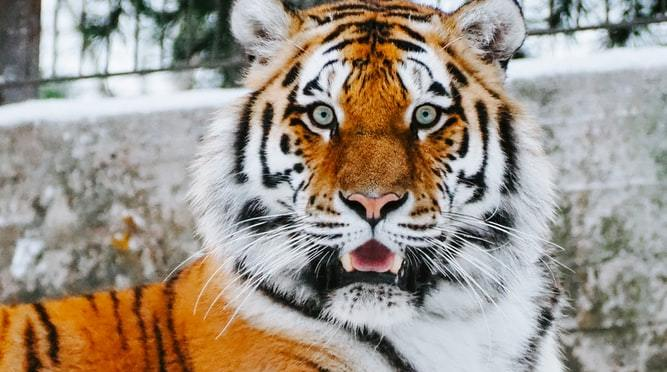 Money Hides In Tiger's Ear – Indian Proverb