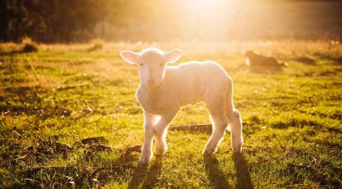 Lambs In Crisis